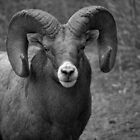 Ram Close by JamesA1