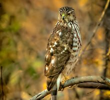 Cooper's Hawk by Joe Jennelle