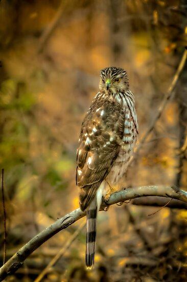 Cooper's Hawk by Joe Jennelle