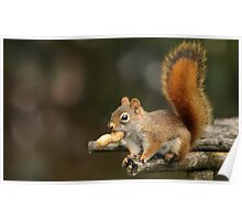 Surprised Red Squirrel With Peanut Poster