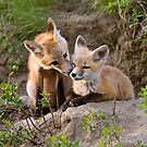 Young Fox Kit kits playing Saskatchewan Canada by pictureguy