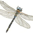 Blue Dragonfly by thedrawingroom