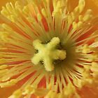 Luscious Orange poppy stamens by SezziT