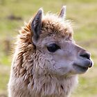 Sunshine Llama by derekbeattie