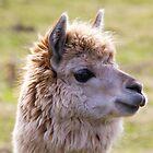 Sunshine Llama by derekbeattie