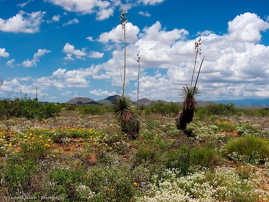 Glorious! Spring in the Desert! by Lucinda Walter