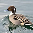 Northern Pintail by Nancy Barrett