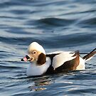 Long-tailed Duck  by Nancy Barrett