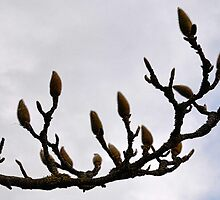 Waiting To Bloom-Magnolia Tree by lynn carter