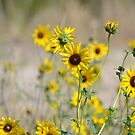 Field of Yellow Flowers by lindsycarranza