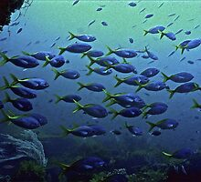 WITHOUT DEPTH THERE'S NO LIFE OF BLUE AND GOLD by NICK COBURN PHILLIPS