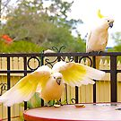 Cockatoos, Afternoon Tucker. by johnrf