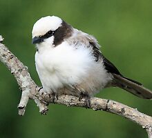 Southern white crowned shrike by jozi1