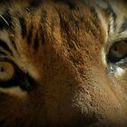 Malayan Tiger Up Close (Critically Endangered) by Kimberly Chadwick