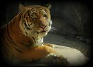 Malayan Tiger (Critically Endangered)  by Kimberly Chadwick
