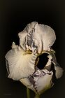 White Iris #5 by Elaine Teague