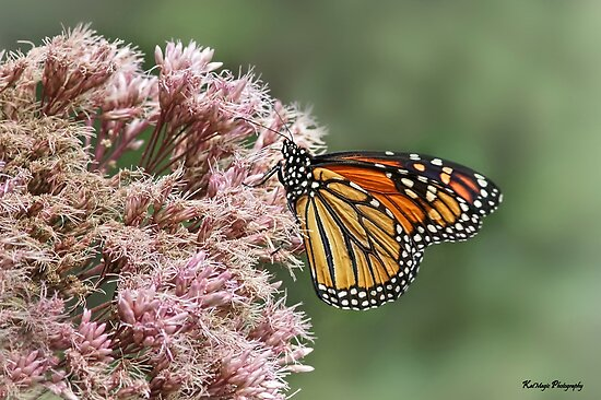 Monarch on Milkweek by KatMagic Photography