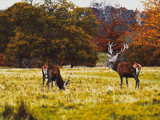 Red Deer in the Fall by philipjon