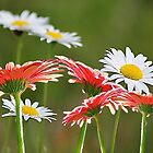 Contrived Daisies by DeeZ (D L Honeycutt)