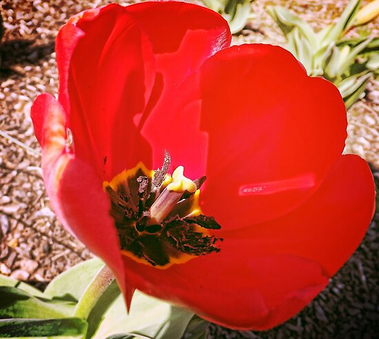 Red Tulip for a March Noon by Charldia