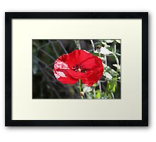 Vector Style Poppy With Natural Background  Framed Print