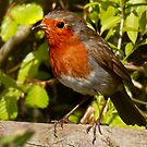 Cheekie Robin 1 by George Crawford
