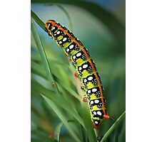 Hyles euphorbiae caterpillar Photographic Print