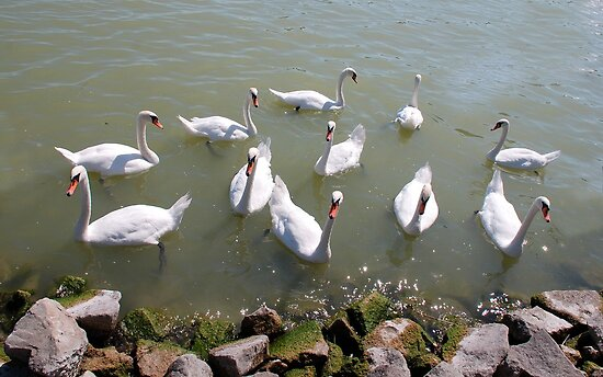 Swans on Lake Balaton, Hungary by jojobob
