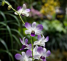 Purple orchid flower inside the National Orchid Garden in Singapore by ashishagarwal74