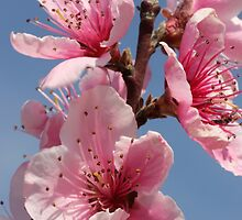 Peach Blossoms by Paul Sturdivant