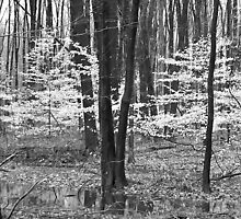 Young Beech Trees Black n White  by Randy & Kay Branham