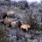 Elk in Spring by Betty E Duncan  Blue Mountain Blessings Photography