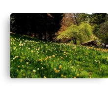 Daffodil Hill Canvas Print