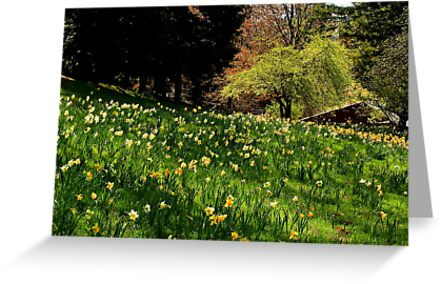 Daffodil Hill by Barbara  Brown