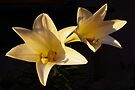 late sunlit lilies by dedmanshootn