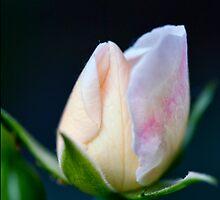 Precious Rose Bud by jayneeldred