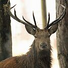 red deer stag by Martynb