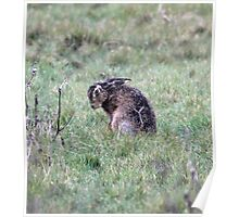 hare in the grass Poster