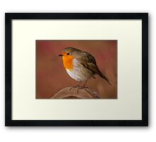 Red Robin Framed Print