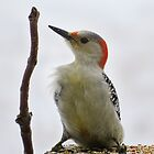 Red-bellied Woodpecker Front by Deb Fedeler