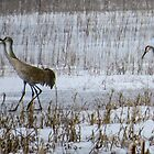Sandhill Cranes Walk in Sweet Marsh by Deb Fedeler