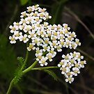 Yarrow Flower Head by Deb Fedeler