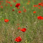 Poppy Field by jojobob