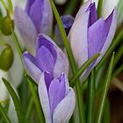 First crocuses by Rebecca Mason