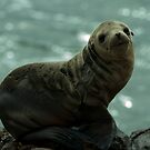 Sea Lion at black lava field on at Palos Verdes, CA by Anton Oparin