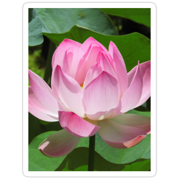 Pink Lotus Bloom by BluedarkArt