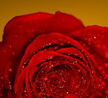Red Rose macro by John Velocci