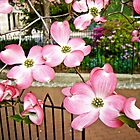 Pink Dogwood Blossoms - Fitler Square - Philadelphia PA by MotherNature
