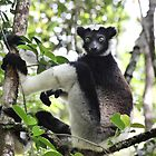 Wild Indri of Madagscar by CharlotteMorse