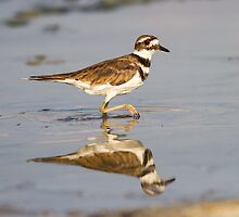 Killdeer: A Mudder ~ Charadriidae vociferus by John Williams